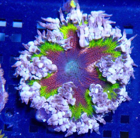 Amazing Aurora Borealis Flower Rock Anemone On Reefgardener Net Bubble Tip Anemone Saltwater Aquarium Fish