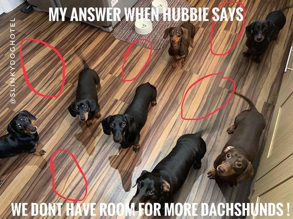 Dachshund Meme Weenie Dogs Sausage Dog Dachshund Love
