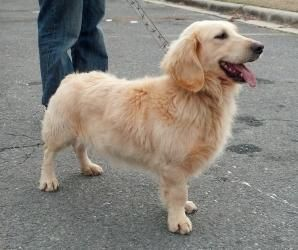 San Bernardino Ca Golden Retriever Mix Meet Max Urgent 9 23