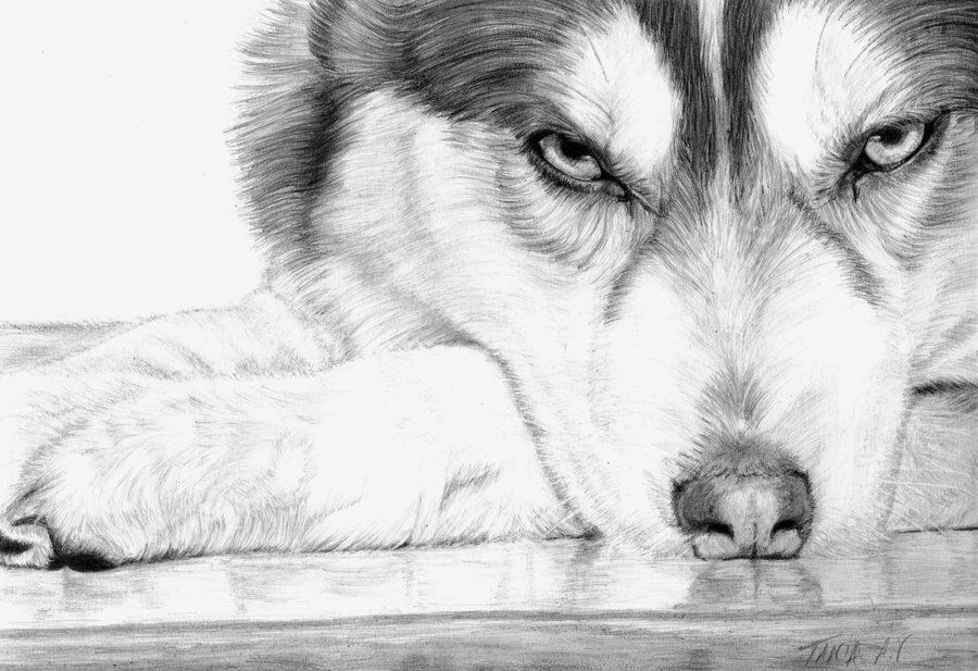 Pencil Drawing Husky Husky Drawing Dog Drawing Siberian Husky
