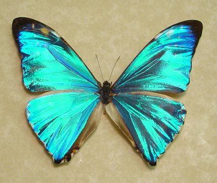 Top 10 Rare or Endangered Butterflies | Flutterbies ...