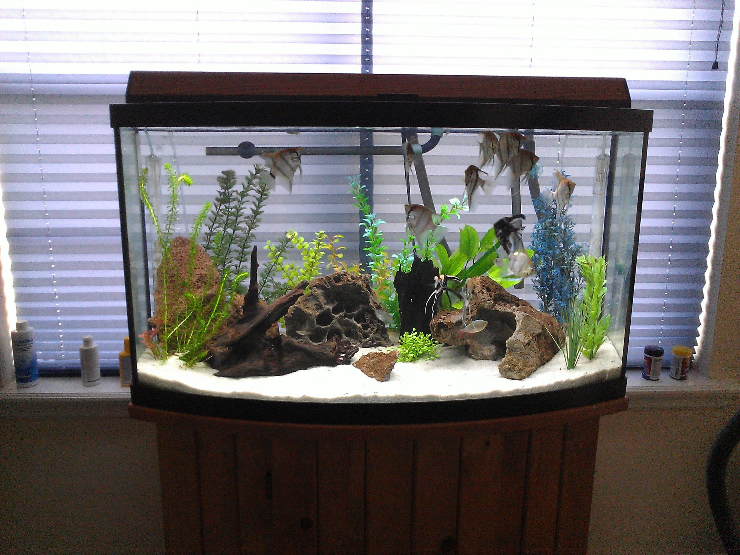 my angel fish tank Aquariums Pinterest