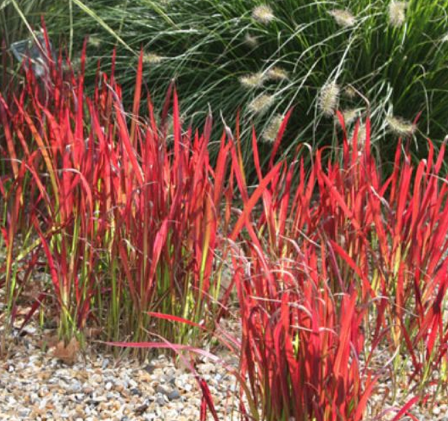 imperata cylindrica rubra japanese blood grass syn red baron has superb upright slender. Black Bedroom Furniture Sets. Home Design Ideas