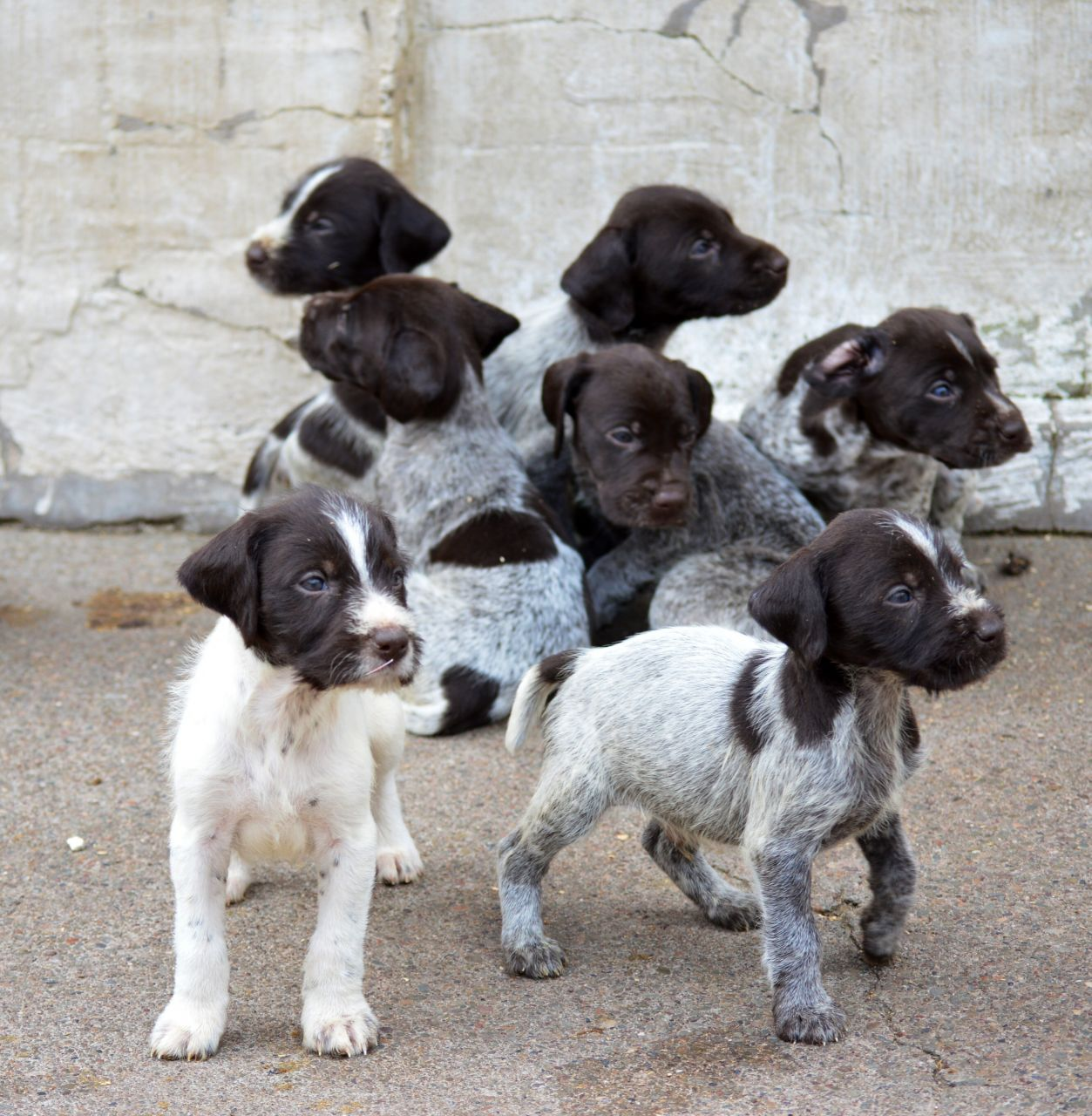 German Wirehaired Pointer Puppies For Sale Puppies Available Now