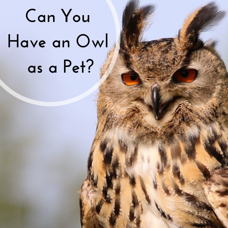 Keeping Owls as Pets Yes, It's Legal Owl pet, Pets, Pet