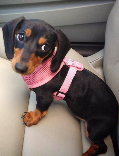 Not Happy In Her Harness Doxie Love Dachshund Puppies