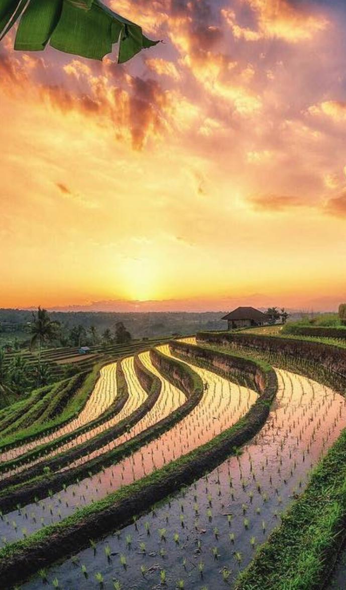 Sunset Over The Paddy Fields In Bali Fotografi Bali Pedesaan