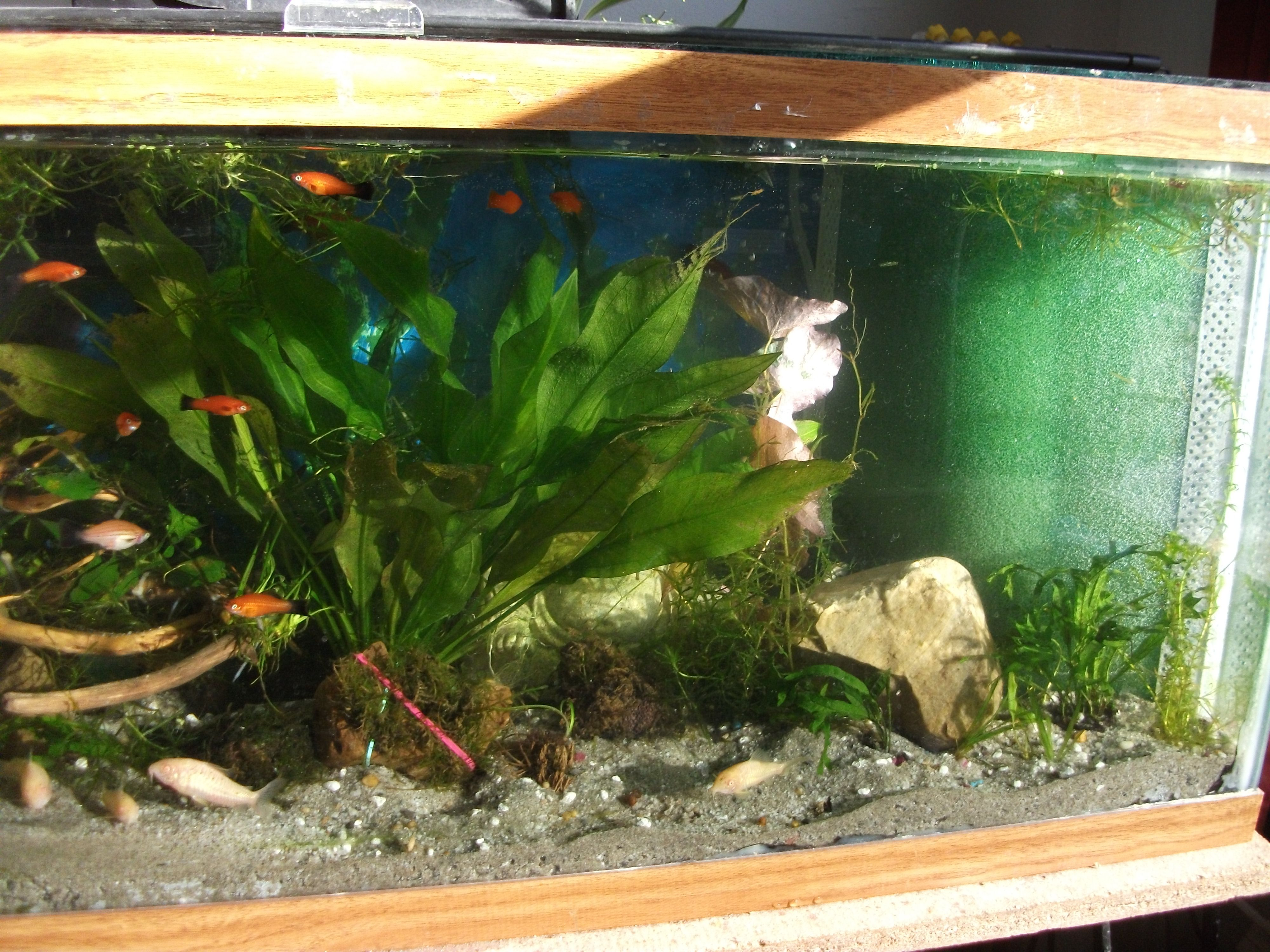 My Thirty gallon Swordtail tank with corner Matten Filter