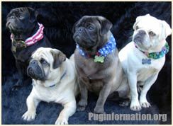 Rare Pug Coat Colors Pugs Dogs Blue Pug