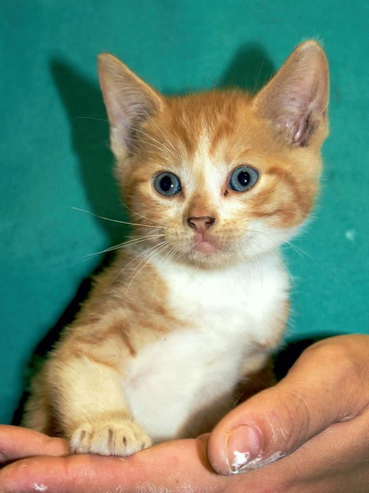 Adopt Cedar On Pet Adoption Pets Short Hair Cats