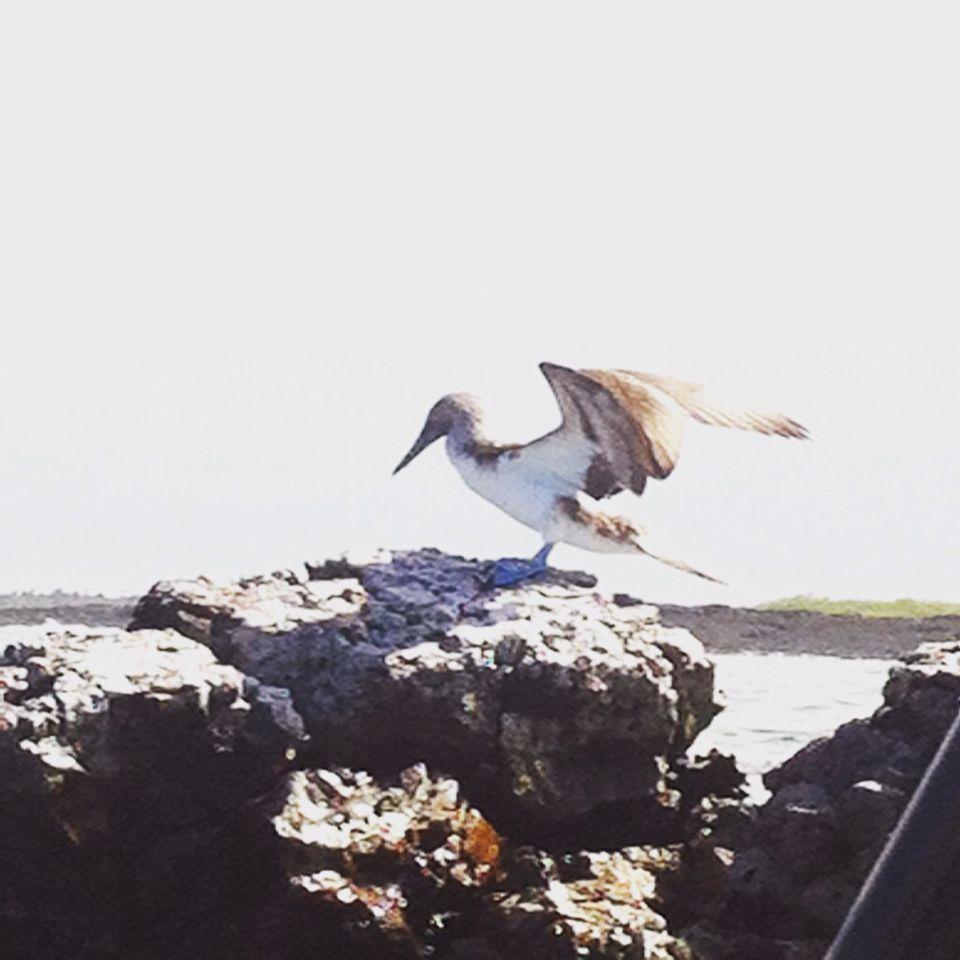 Galápagos- piquero de pata azul
