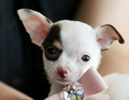 Carina The Chihuahua Puppy For Sale Chihuahua Dog Puppy Pet Forsale Sale Chihuahua Puppy Chihuahua Pu Chihuahua Puppies Cute Chihuahua Chihuahua Love