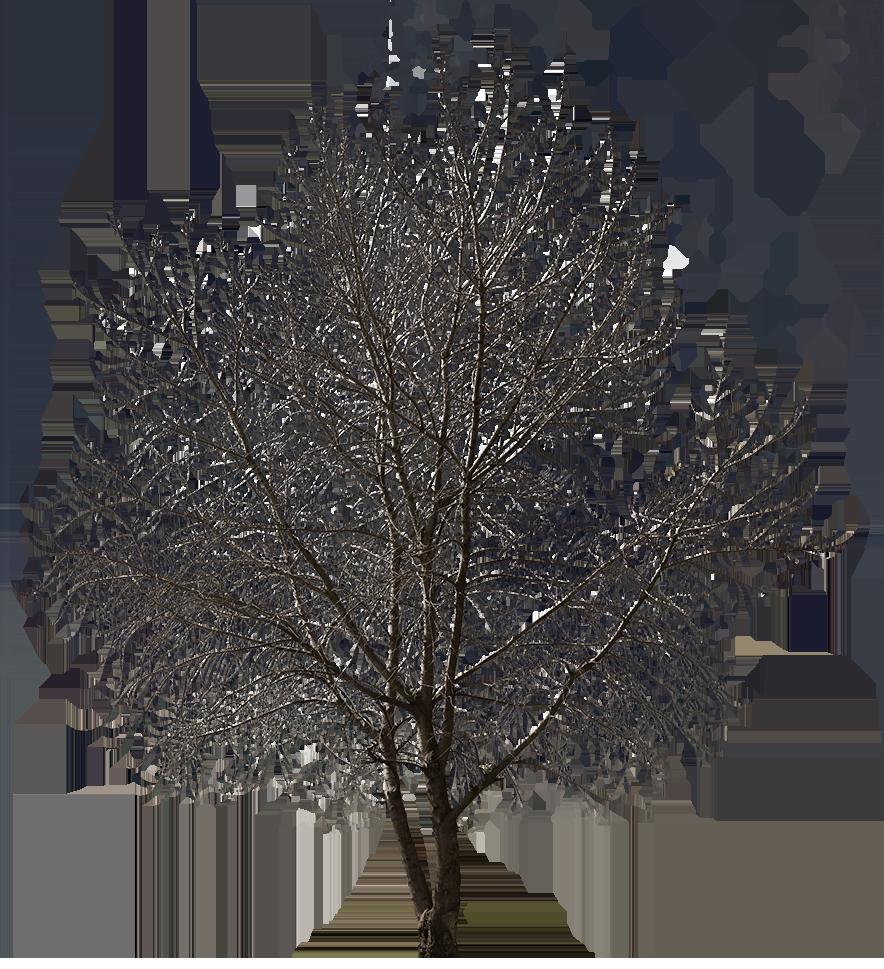 Populus Winter Tree Photoshop Landscape Design Landscape