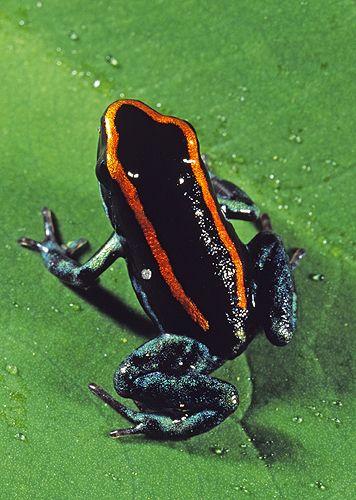 red-line-poison-dart-frogphyllobates-vittatus-cropped.jpg (356×500)