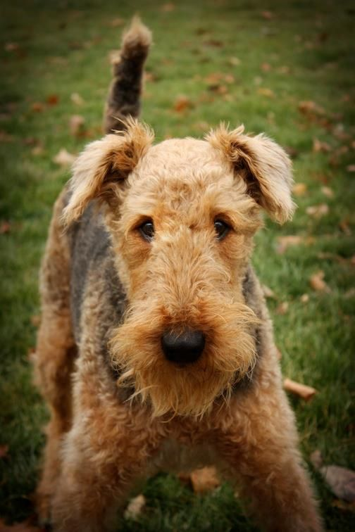We're going to be play tackle football with our Airedale Terrier, Seth Bullock. Maggie will play running back.