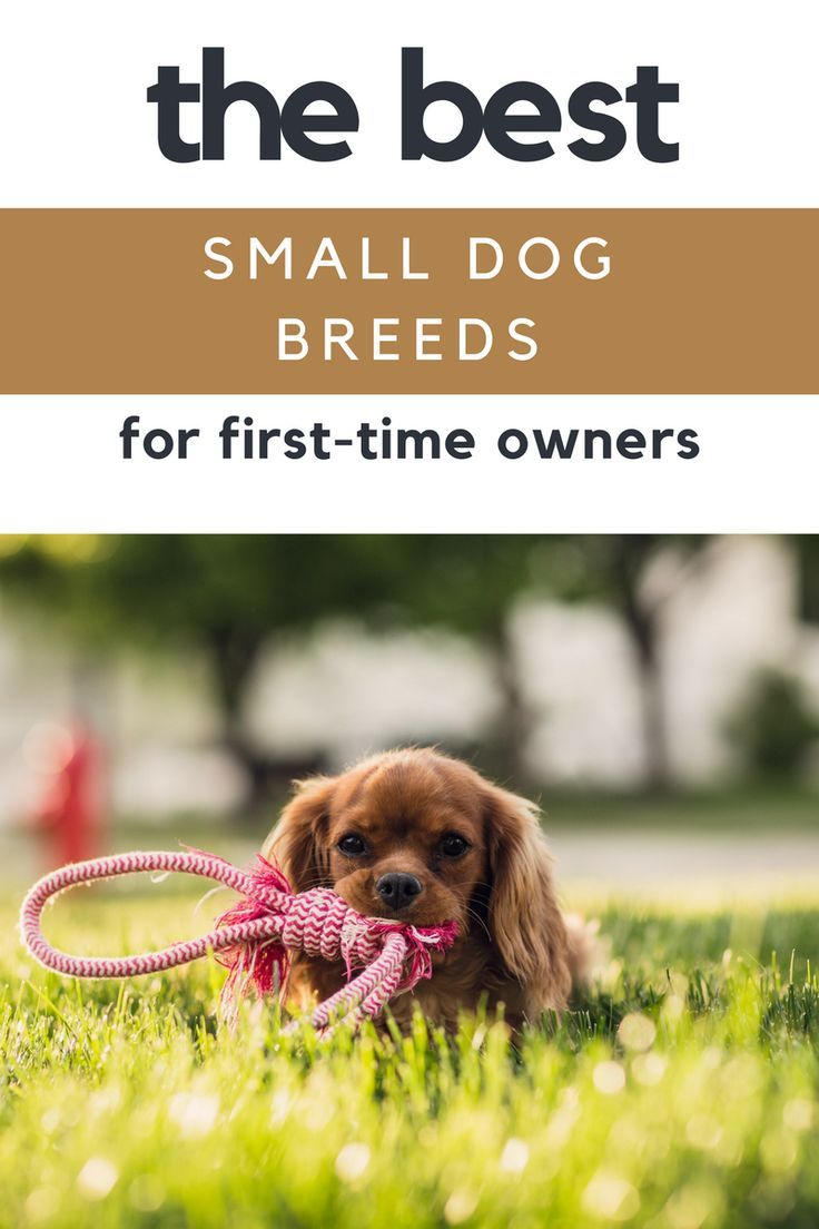 Best Small Dog Breeds For First Time Dog Owners Thinking About Getting Your First Pup Love Small Dogs Best Small Dog Breeds Best Small Dogs Small Dog Breeds