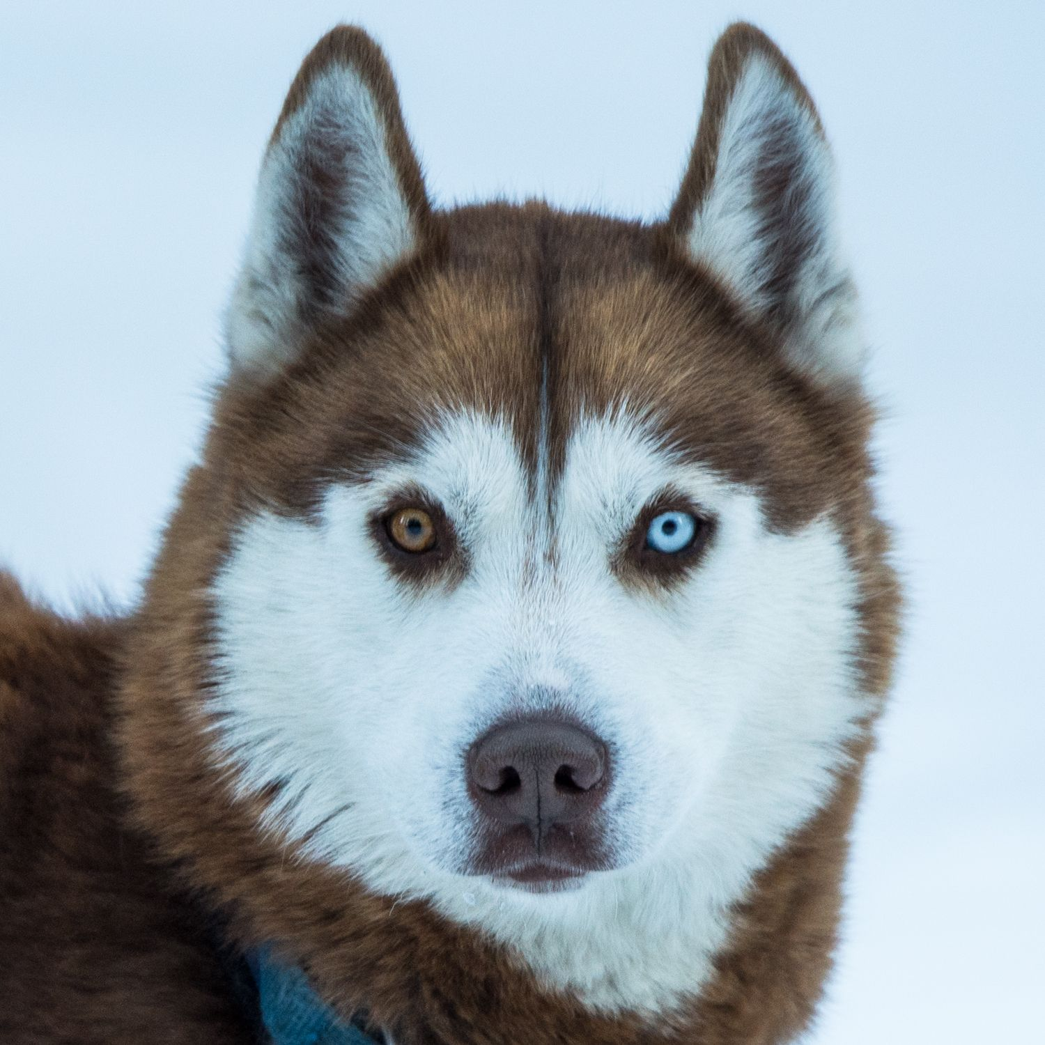 This Is One Of He Husky Dogs At Good Times Adventures In