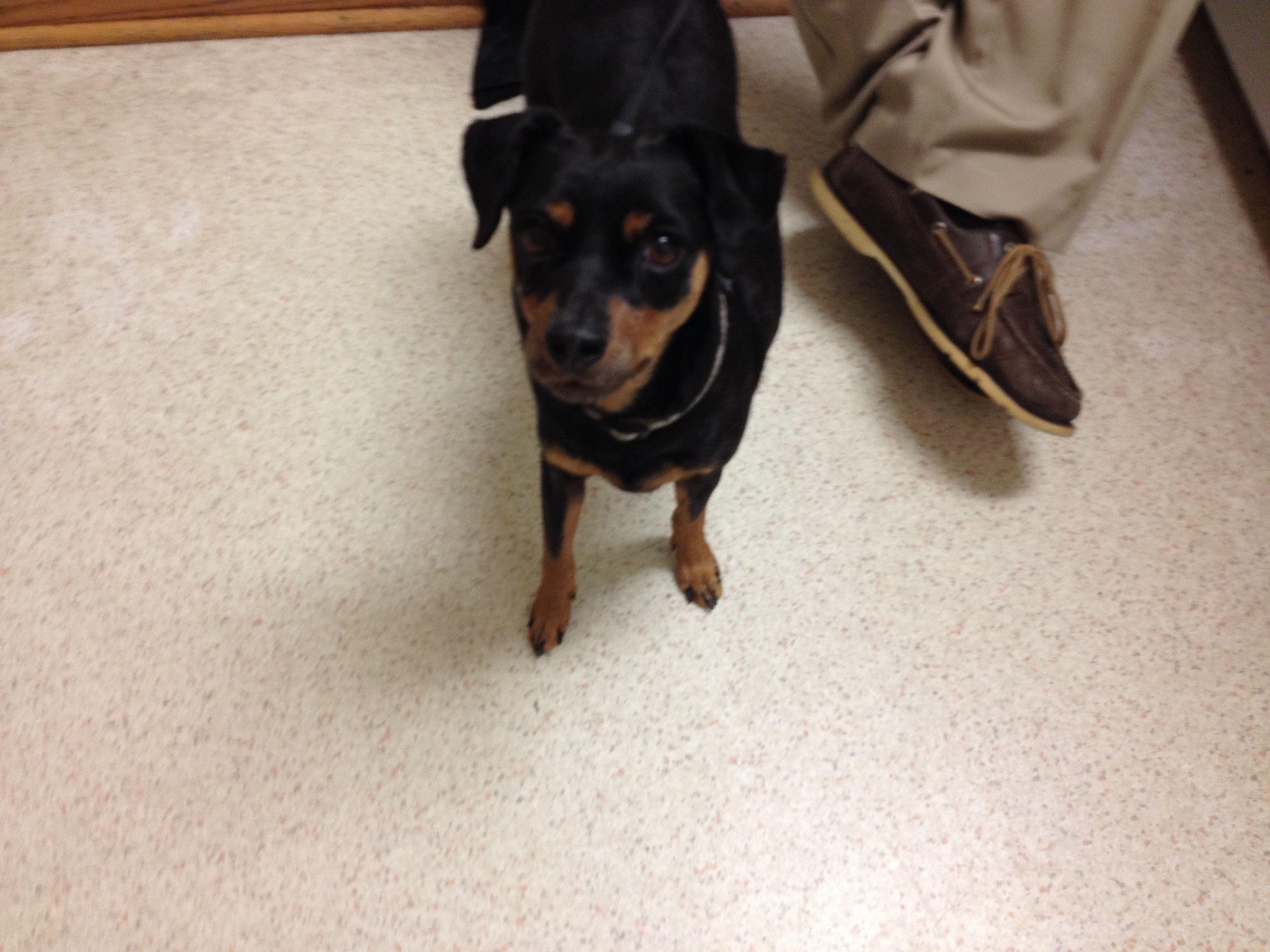 Miniature Pinscher Dog For Adoption In Lincoln Ne Adn 556491 On