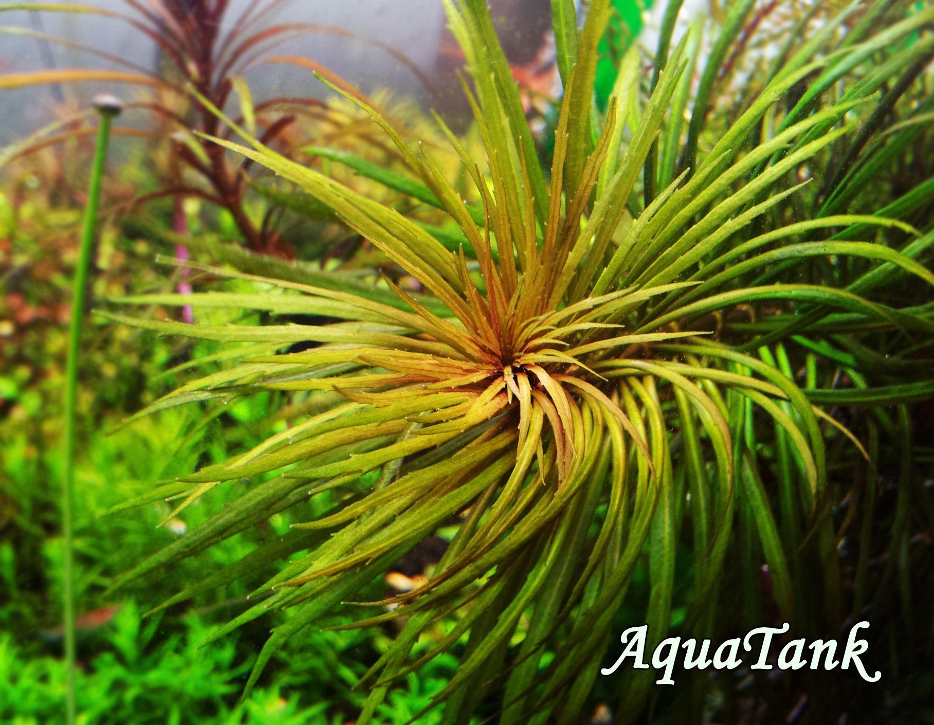 Pogostemon australia Aquascape Pinterest