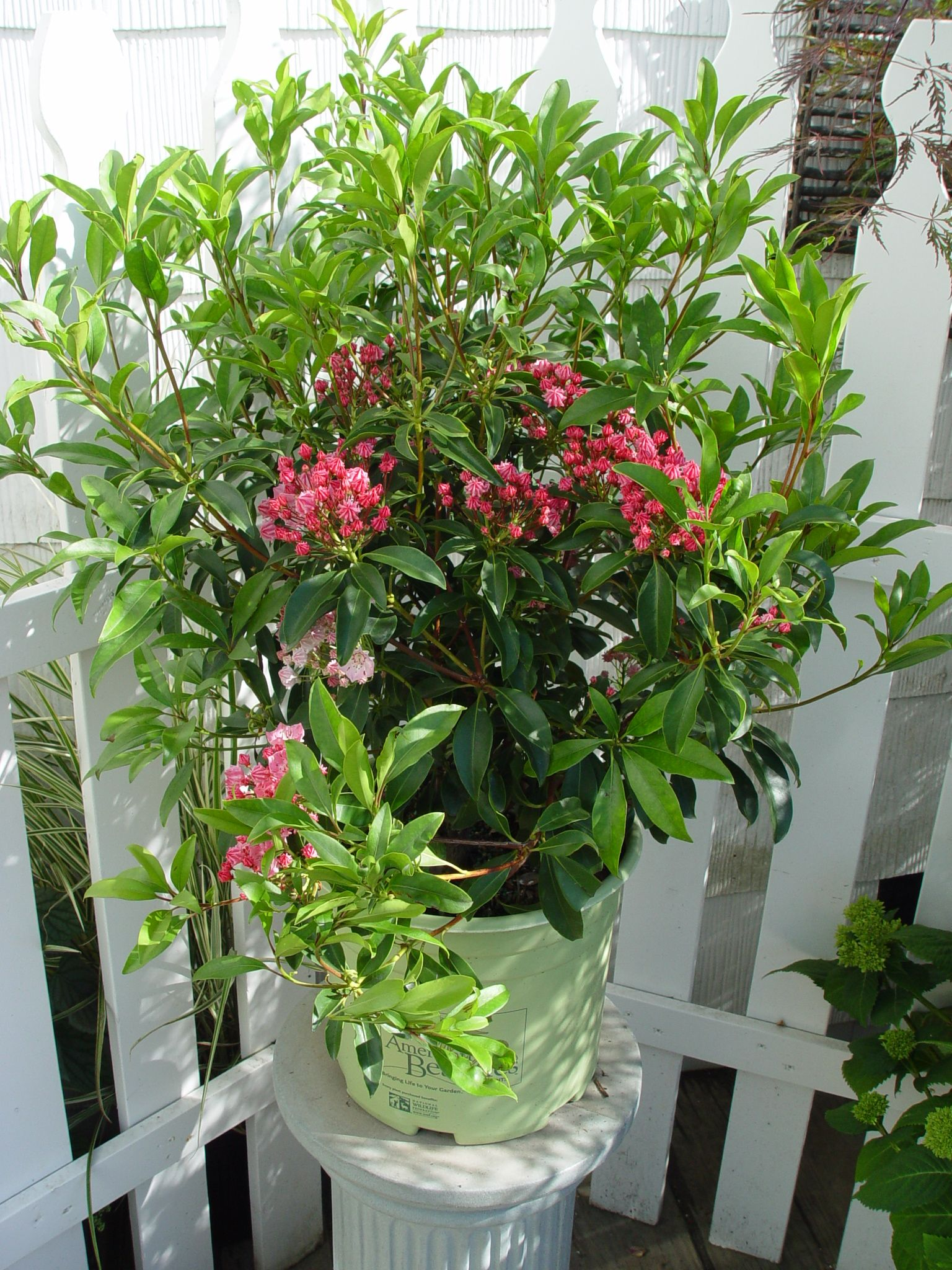 mountain laurel flower buds