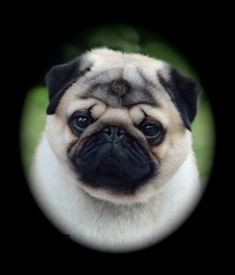 Northern California Pug Club Breeder Selection Tips Breeders