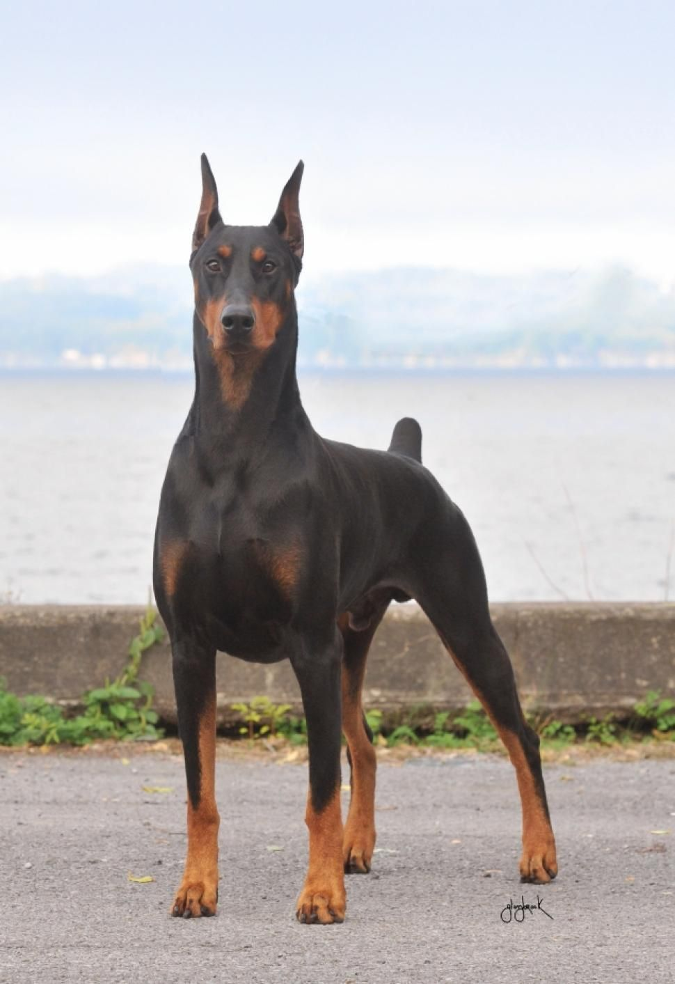 Doberman Aggressive Dog Breeds Doberman Pinscher Doberman Dogs
