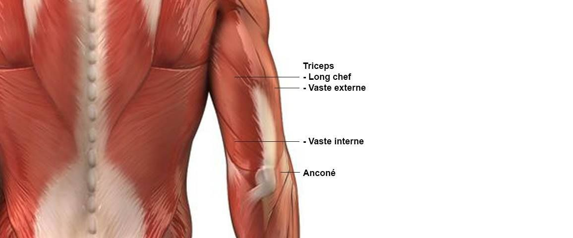 Triceps - Anatomie | groupe musculaire | Pinterest