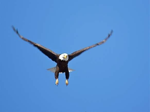 A bald eagle comes in for a landing at ForEvergreen Nature Preserve.