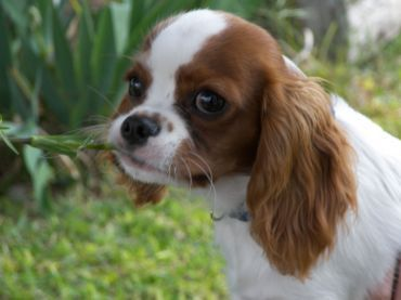 Cavalier King Charles Spaniel With Images Cavalier King Charles Spaniel Cavalier King Charles King Charles Spaniel
