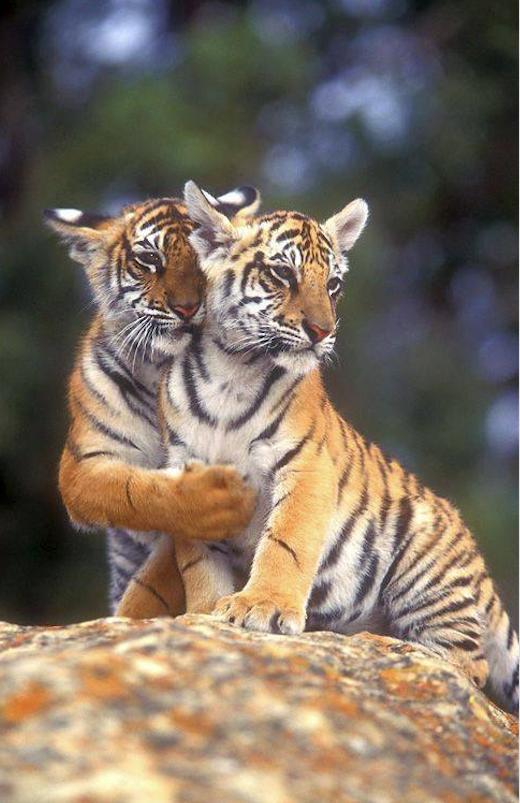 данном тигр с котенком картинка первых