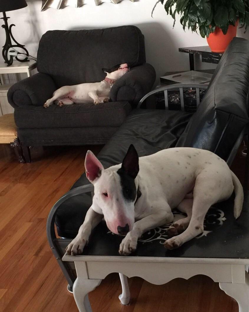 Pin by Mesi on Minibull | Bull terrier dog, Happy national