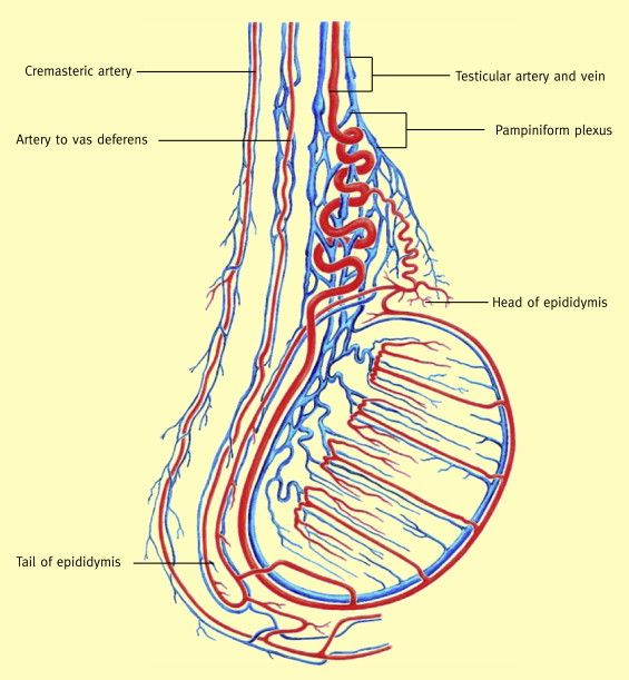 Pampiniform plexus surrounds the testicular artery and helps in ...