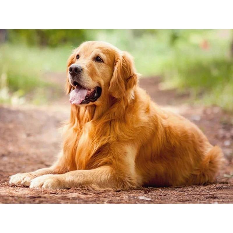 [6+] Golden Rottweiler Dog