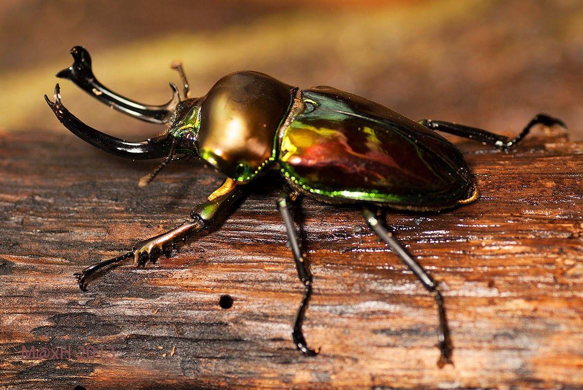 Rainbow stag beetle, Phalacrognathus Muelleri Stag