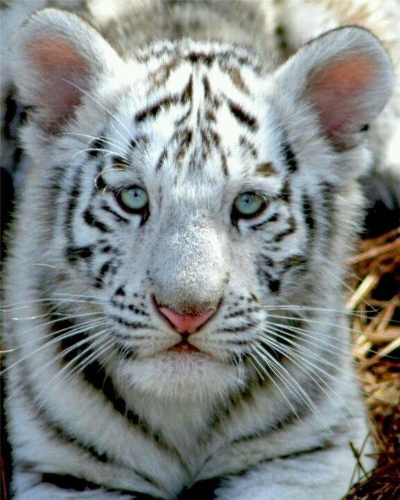 I wish white tigers weren't endangered! they're beautiful.
