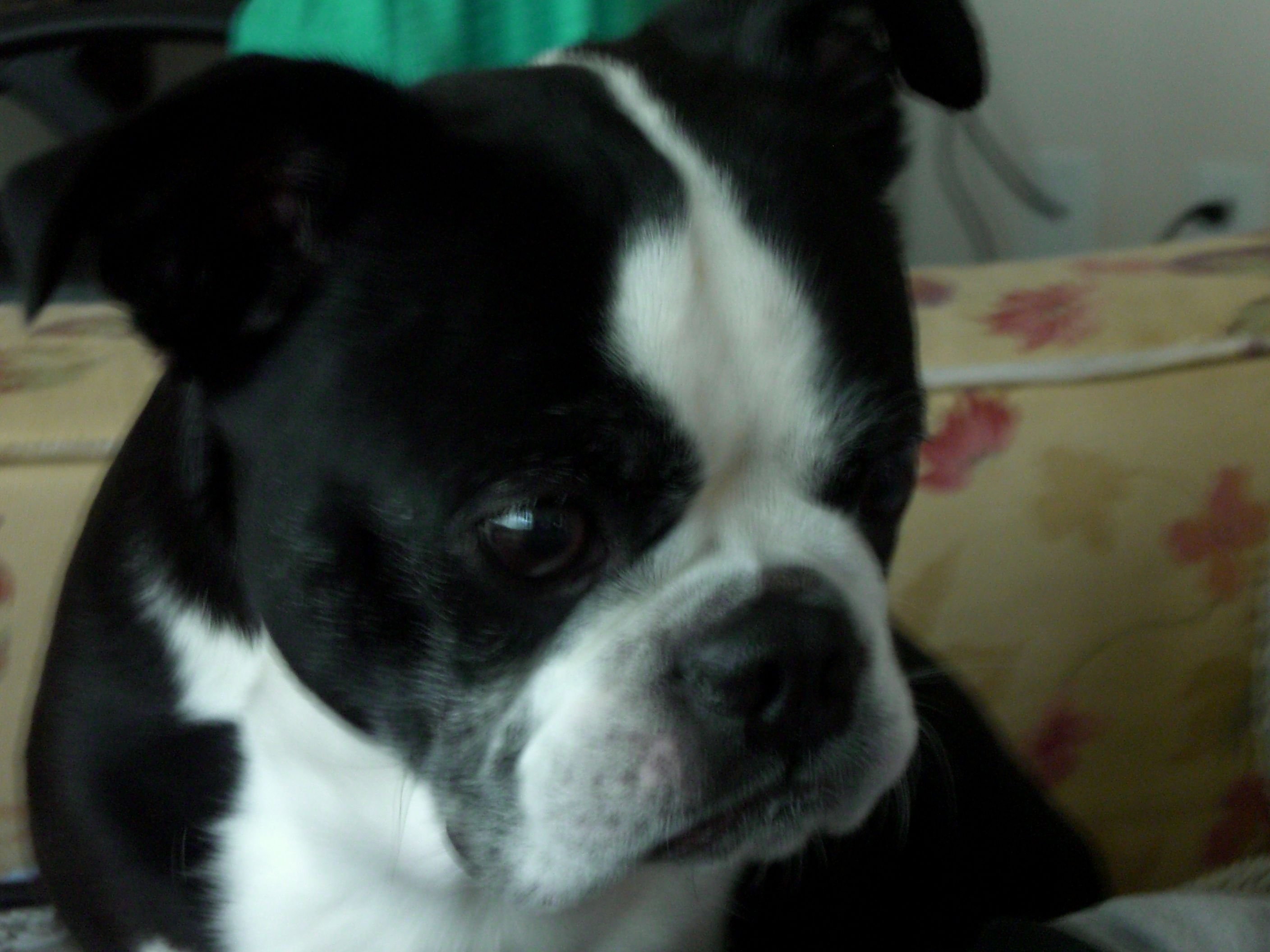 Ozzy Wanting More Ice Cream Boston Terrier Terrier Dogs