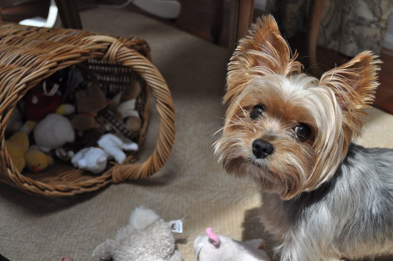 So many toys! Aren't I the lucky one! Yorkies have hoarding tendancies