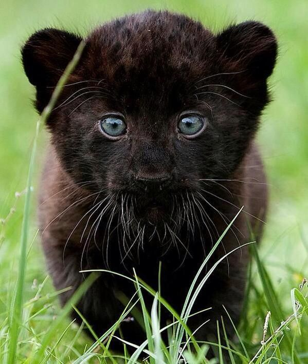 Cute baby panther