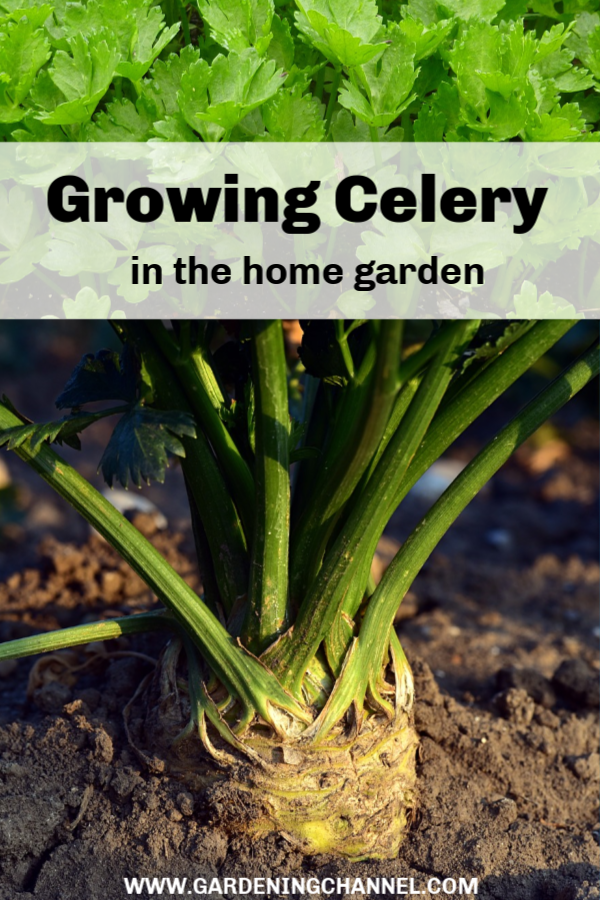 Growing Celery Plants Plan Now For Spring Planting 640 x 480