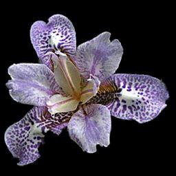Pardanthopsis dichotoma (Now technically an Iris, I believe)