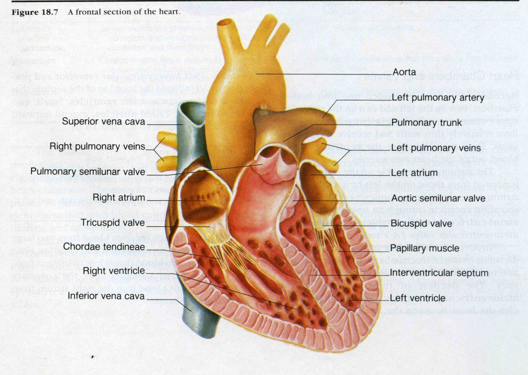 Human Heart Every Day Your Heart Beats About 100000 Times