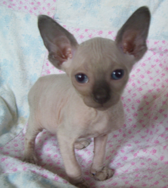 Sphynx I Love Those Huge Ears And Chocolate Nose Kitten