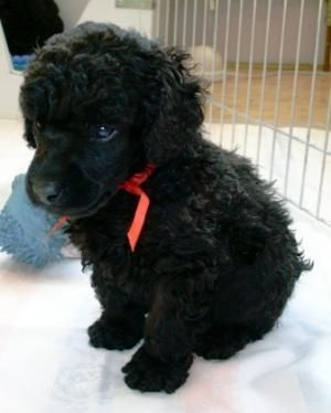 Dog Breed Black Miniature Poodle Poodle Puppy Toy Poodle Black