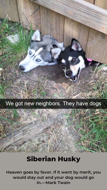 Litter Of 6 Siberian Husky Puppies For Sale In Tarkio Mo Adn