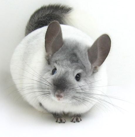 Gorgeous I Want A White One Now Chinchilla Pet Animals