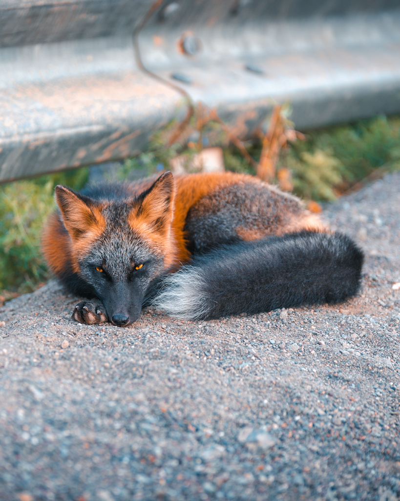 The incredibly rare and majestic Melanistic fox in 2020