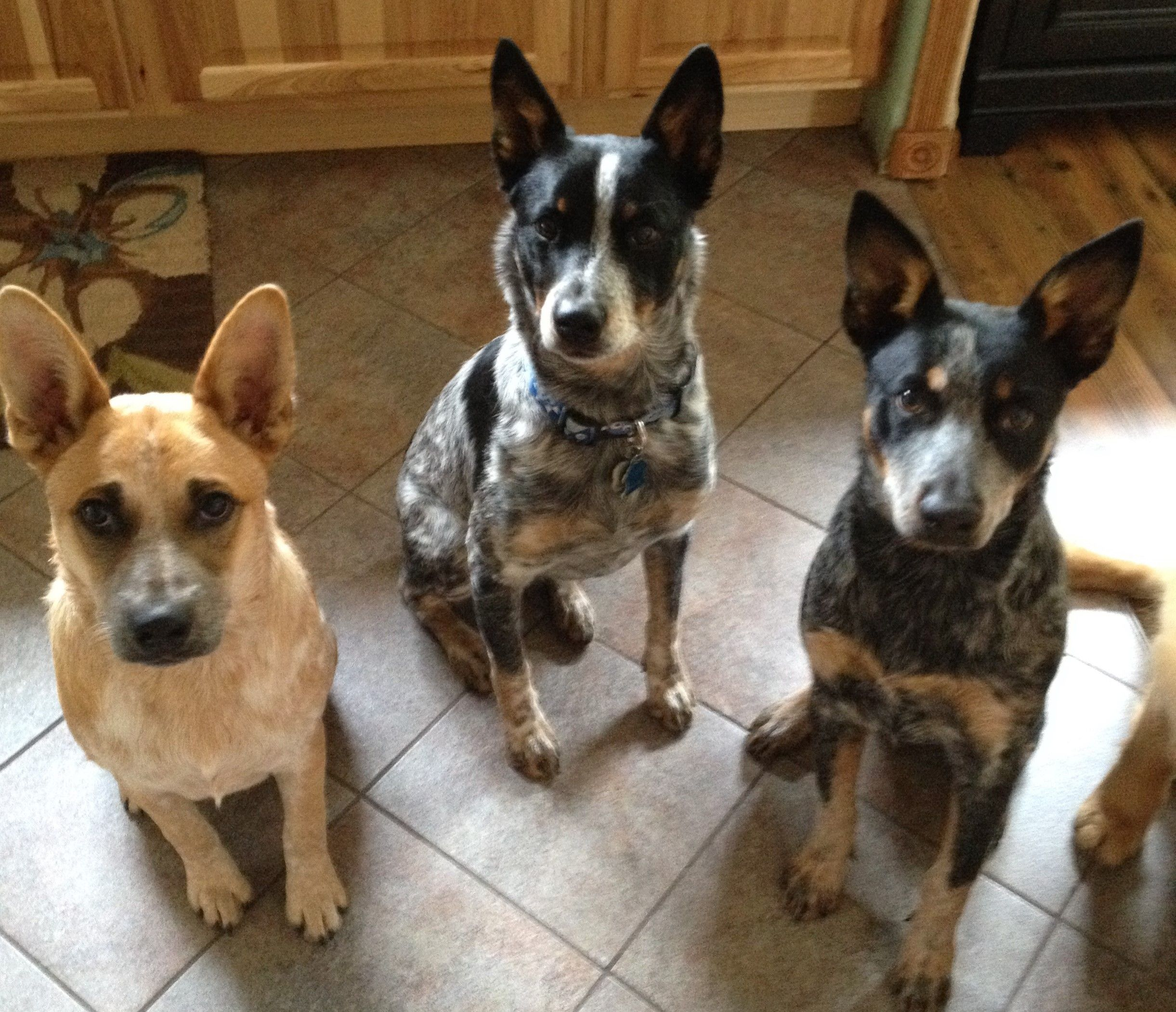 My Three Heelers We Have Big Ears And We Cannot Lie