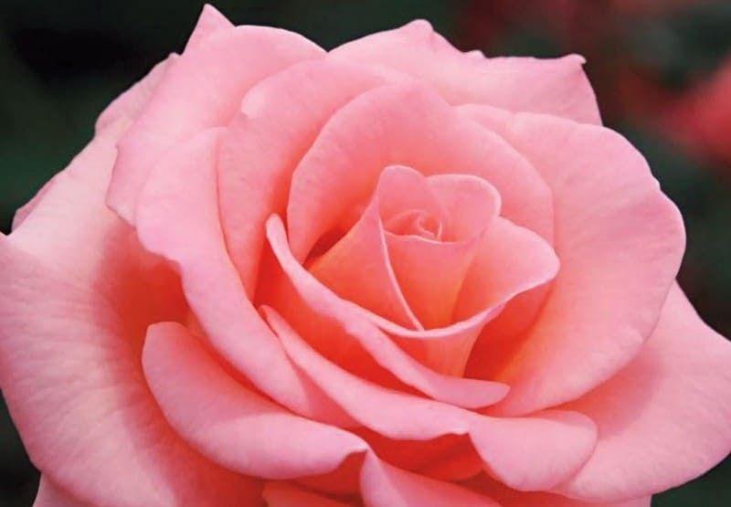 Gambar Bunga Mawar Paling Bagus Gambar Bunga Mawar Lengkap Dengan Jenis Jenisnya Supplier Bunga Mawar Paling Bagus Wa 0813 2291 39 Gambar Bunga Bunga Mawar