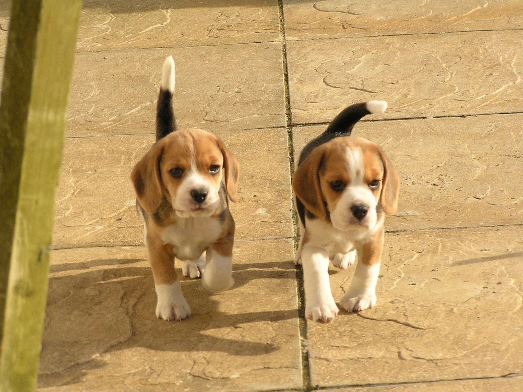 All About The Beagle Puppy Size Beaglelover Beagle Loveit