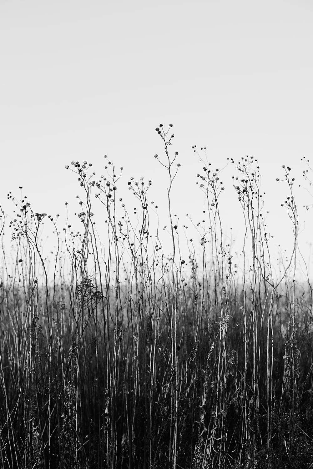 Stems and Prairie Sky Black and White Landscape graph